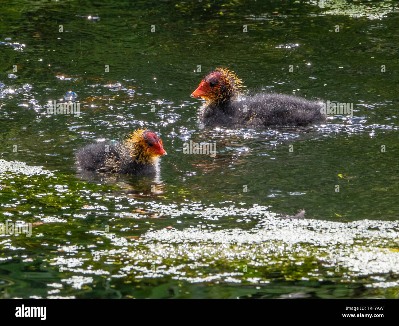 Young coot chicks Fulica atra with red beaks and yellow downed heads out for their first swim in a Somerset lake, UK - Stock Image
