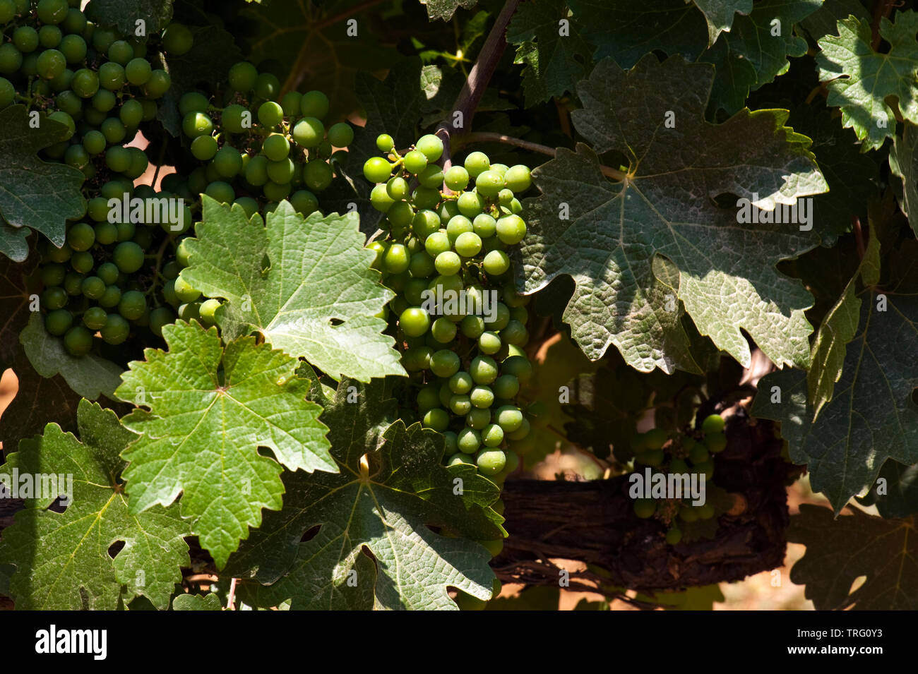 Weintraube im Libanon Stock Photo