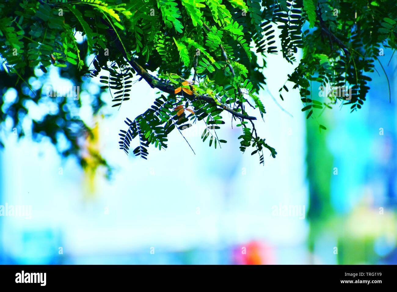 Pictures Of Tamarind Plant