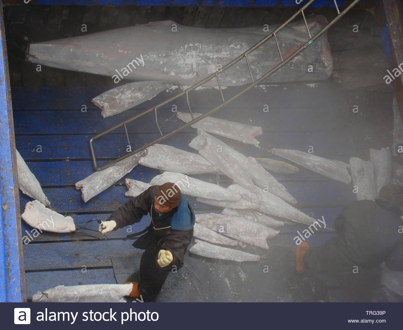 The mixed nationality crew of a Taiwanese-flagged tuna mothership works in the fish hold storing newly transshipped batches of frozen fish. - Stock Image