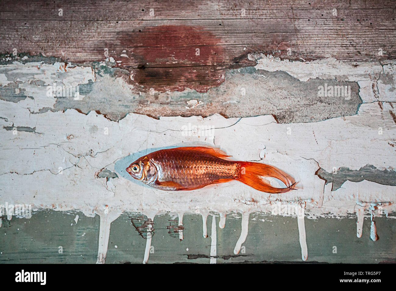 Dead goldfish on painted piece of timber - Stock Image
