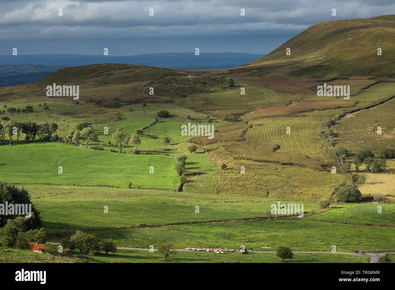 Sheep being rounded up on Gortalughany, Co Fermanagh, Northern Ireland, UK - Stock Image