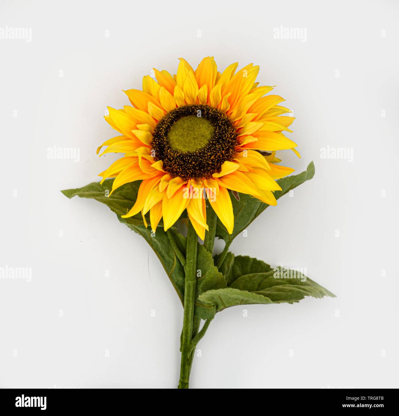 Sonnenblume / sunflower auf weißem Hintergrund / white background / Blume / Flower / Blüte / Blossom Stock Photo
