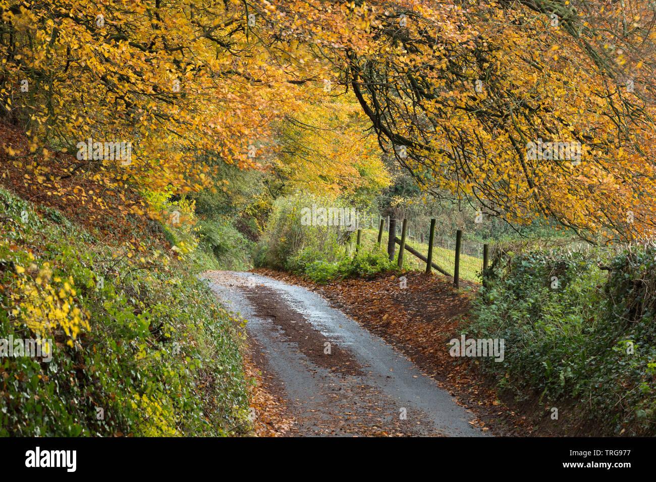 Autumn colours along the road, Corton Hill, Somerset, England, UK Stock Photo