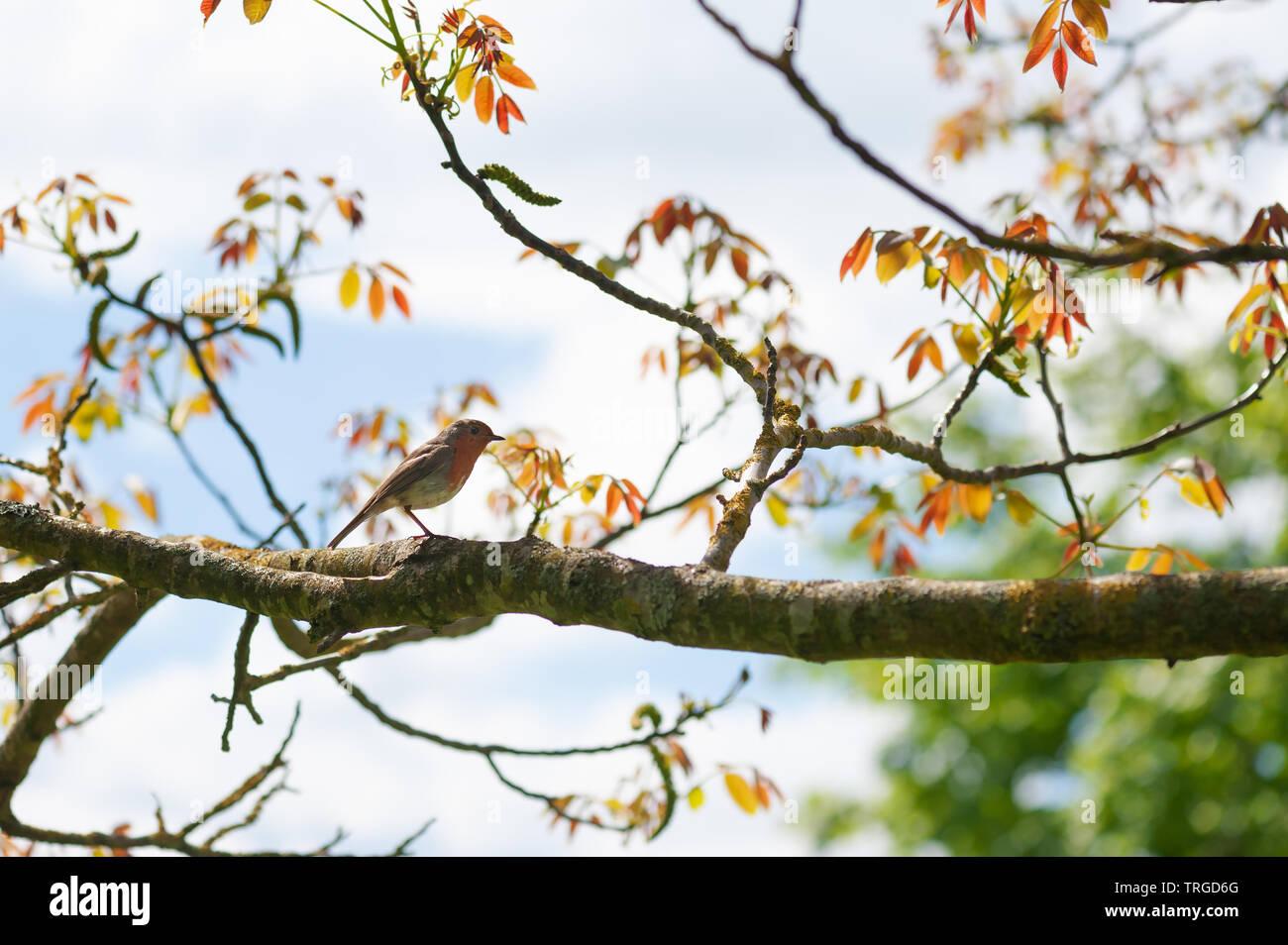Robin in a walnut tree. - Stock Image