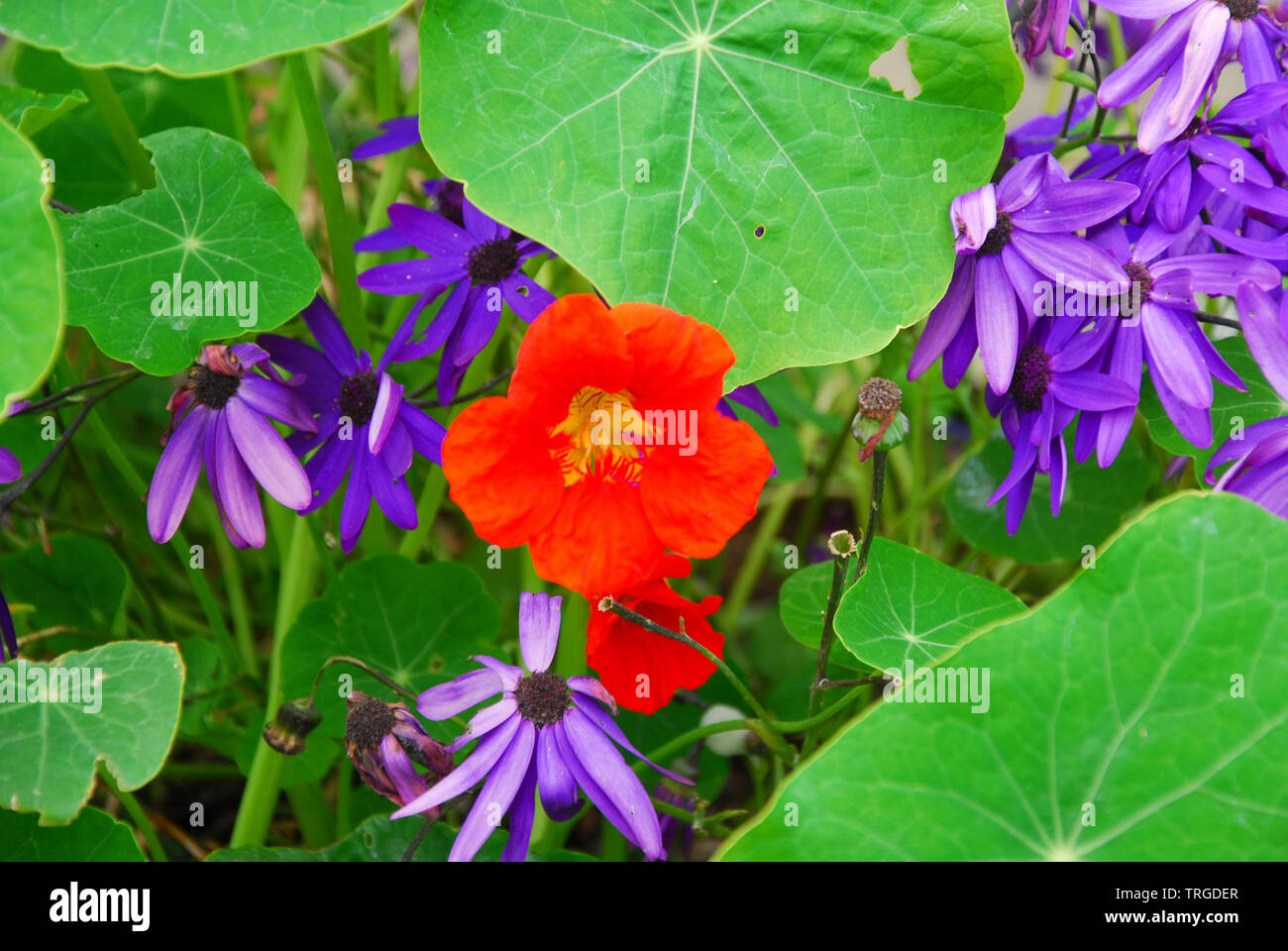 Portland. 5th June 2019. Nasturtium and Senetti bloom in a sunny Portland garden. credit: stuart fretwell/Alamy Live News - Stock Image