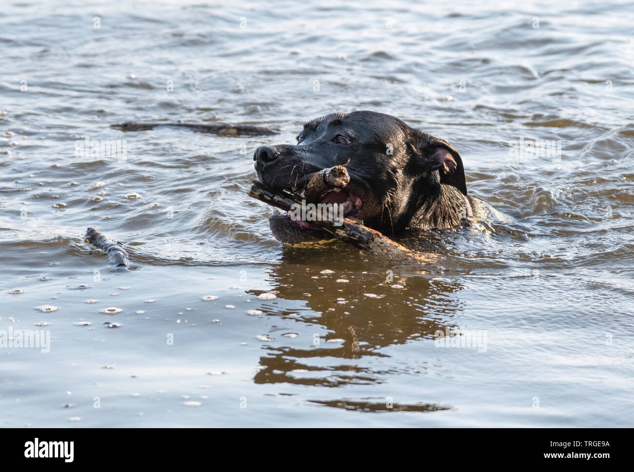 A black Labrador mixed breed dog is an over-achiever after his person throws one stick into a pond, and he retrieves two at once. - Stock Image