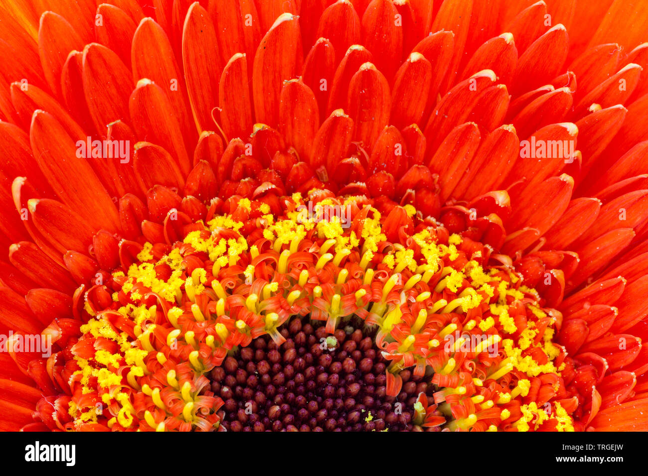 Macro image of a red flower with yellow details around a darker centre - Stock Image
