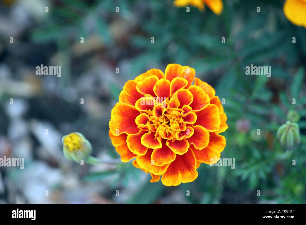 Macro shot of a Marigold flower in full bloom using a bokeh effect
