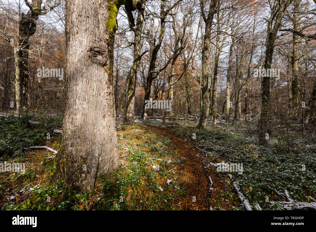 Autumn in the heart of the Mapuche territory, temperate forest, Chile Stock Photo