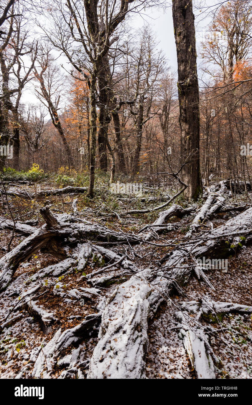 Autumn in the heart of the Mapuche territory, temperate forest, Chile - Stock Image