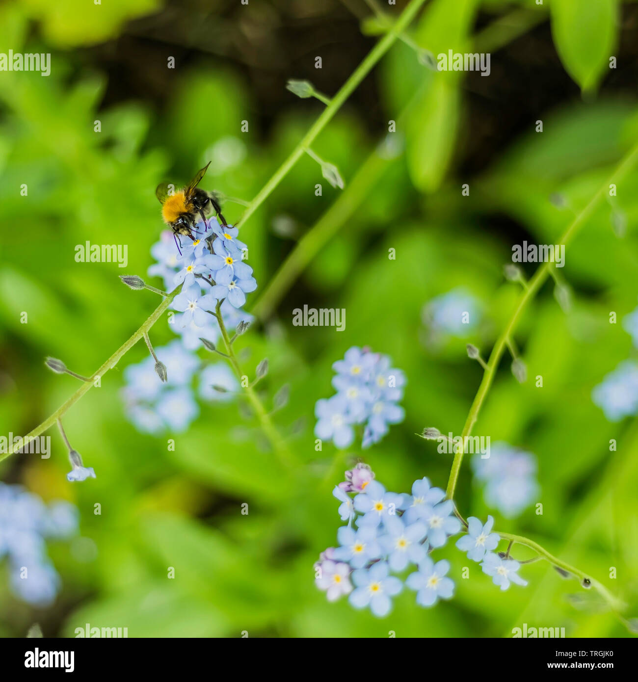 Bumblebee Drawing Nectar From A Forget Me Not Flower - Stock Image