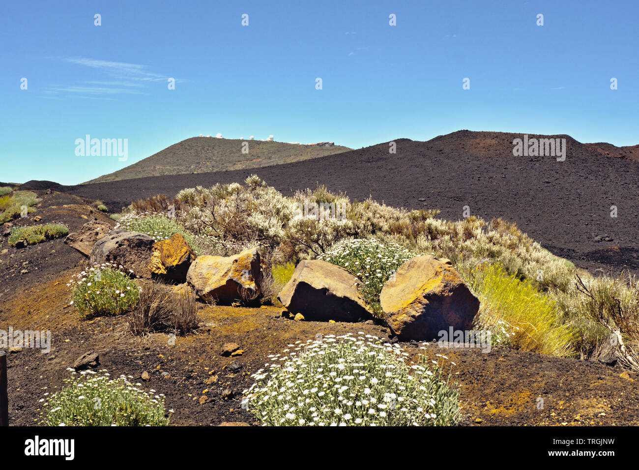 blooming yellow perennials and white marguerites in front of a black lava mountain, behind the top of the Pico del Teide with its 3618 m height the hi - Stock Image