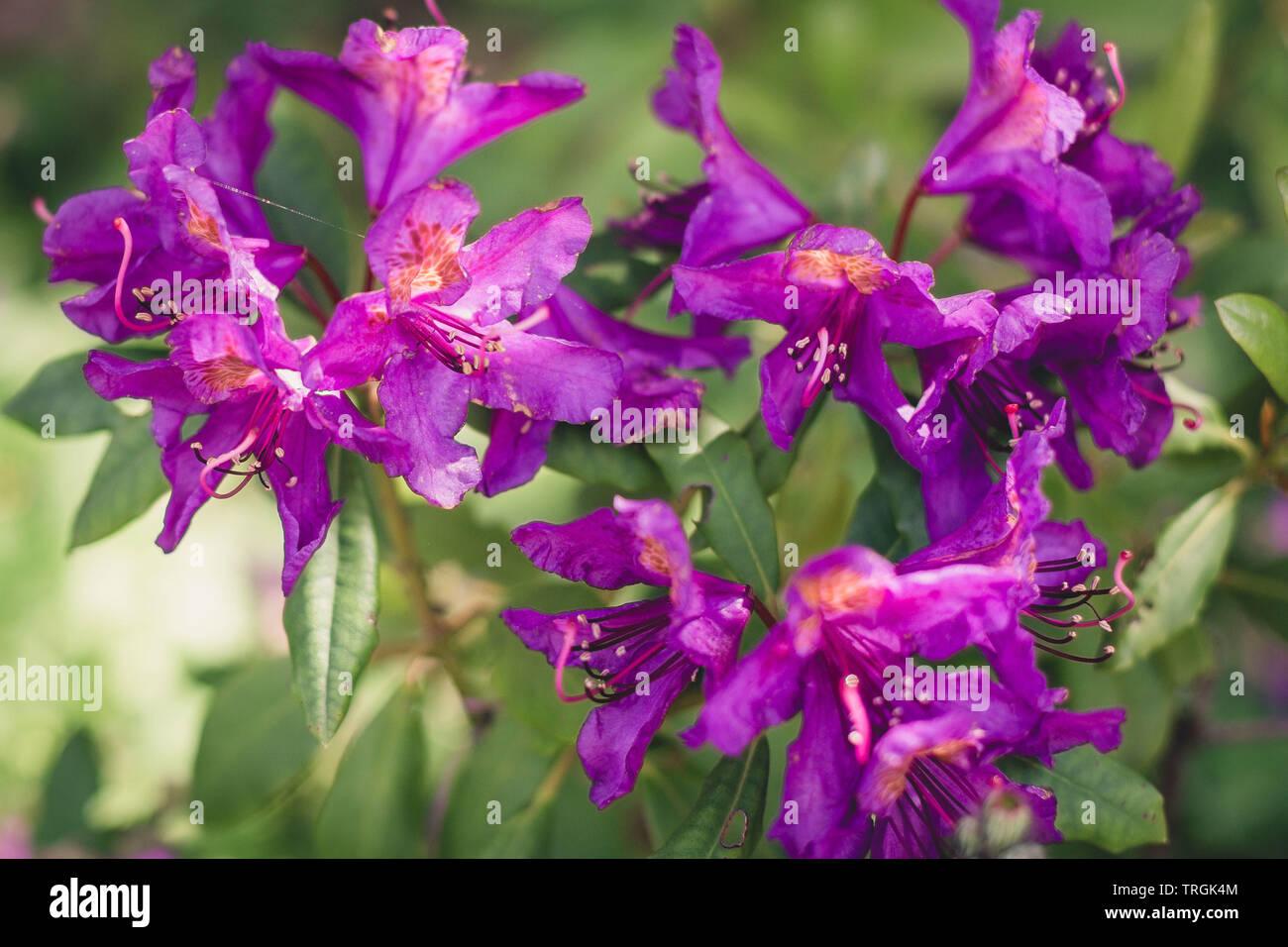 lila Rhododendron im Garten / purple rhododendron in garden - Stock Image