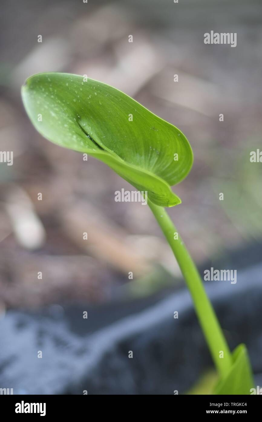 Bog Arum (Calla Palustris) leaf - Stock Image
