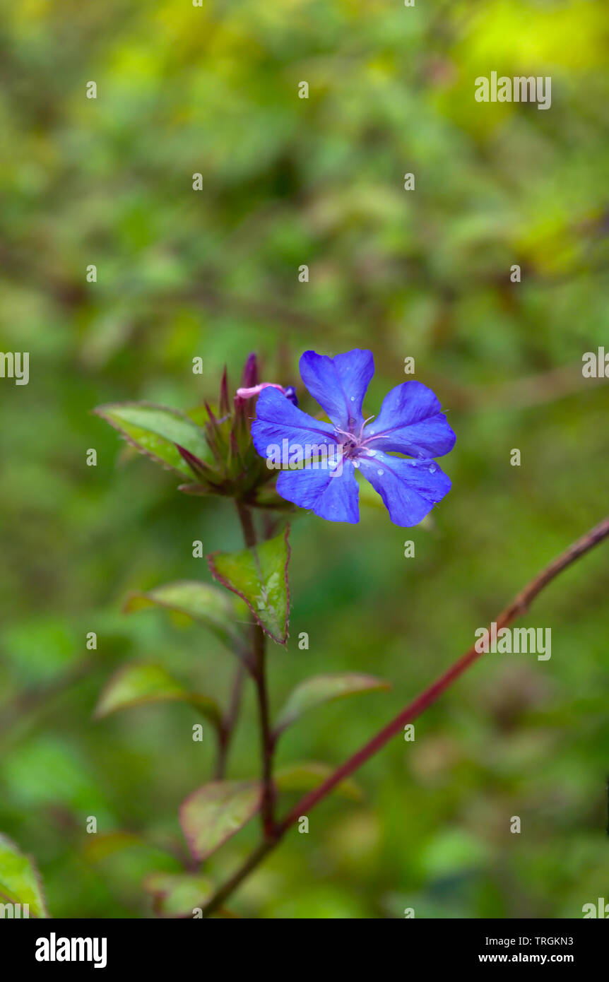 Phlox divaricata blue moon flower with water drops on blur background Stock Photo