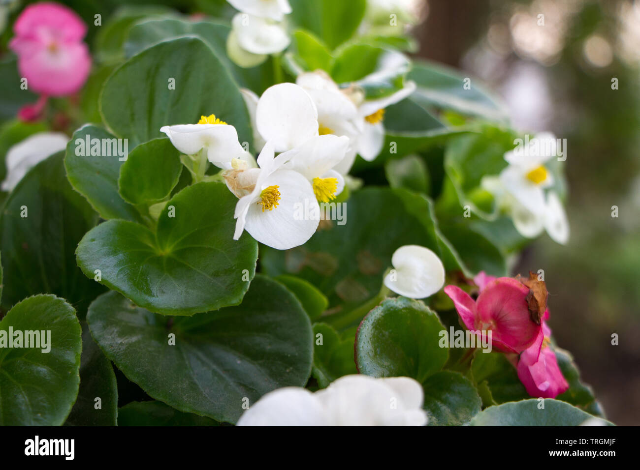 Extremely close-up white and pink Kalanchoe blossoms, spring summer concept, selective focus, copy space. - Stock Image