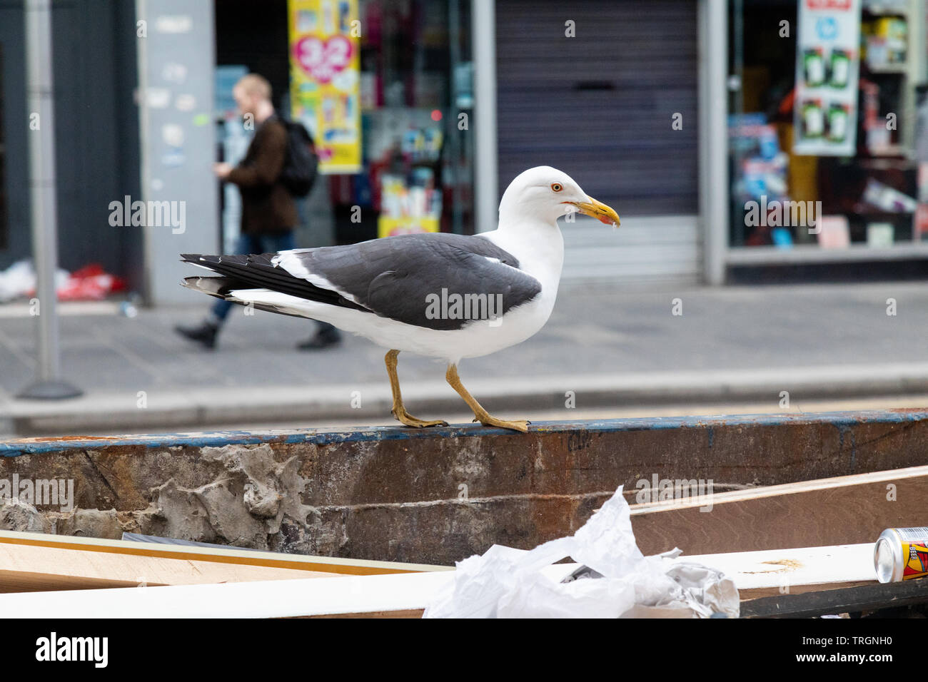 A seagull scavenges for food in a skip on Union Street in Glasgow city centre - Stock Image