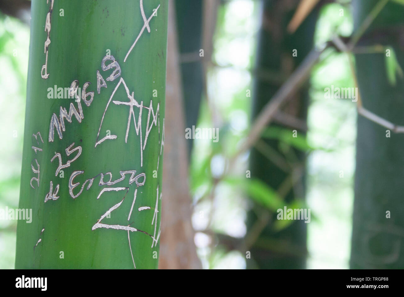 Detail of bamboo tree with some carved writings on its trunk. - Stock Image
