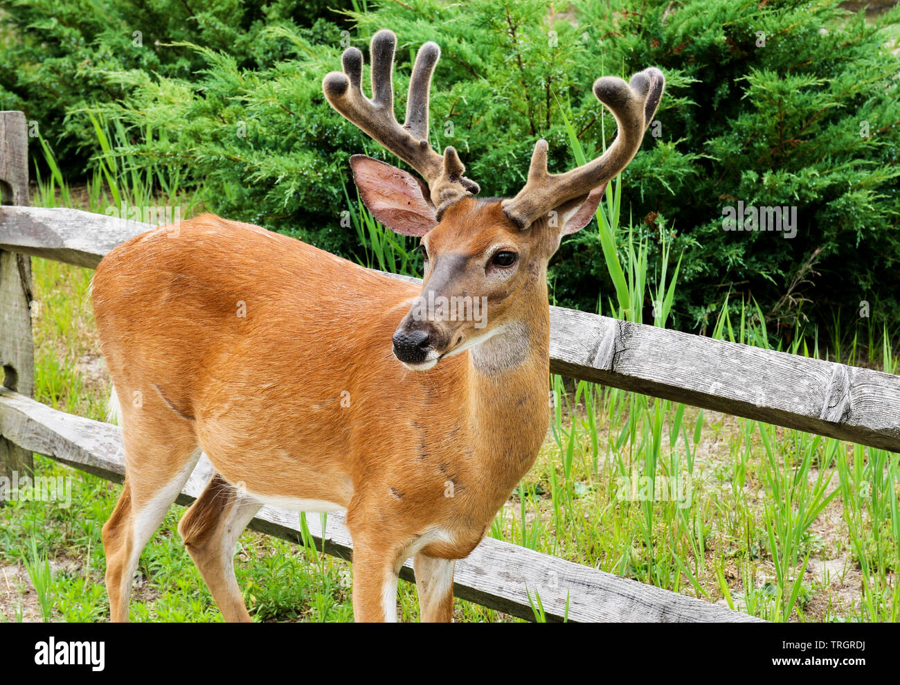 A close up of a male deer rooming the streets of Fire Island National Sea Shore communities. Stock Photo
