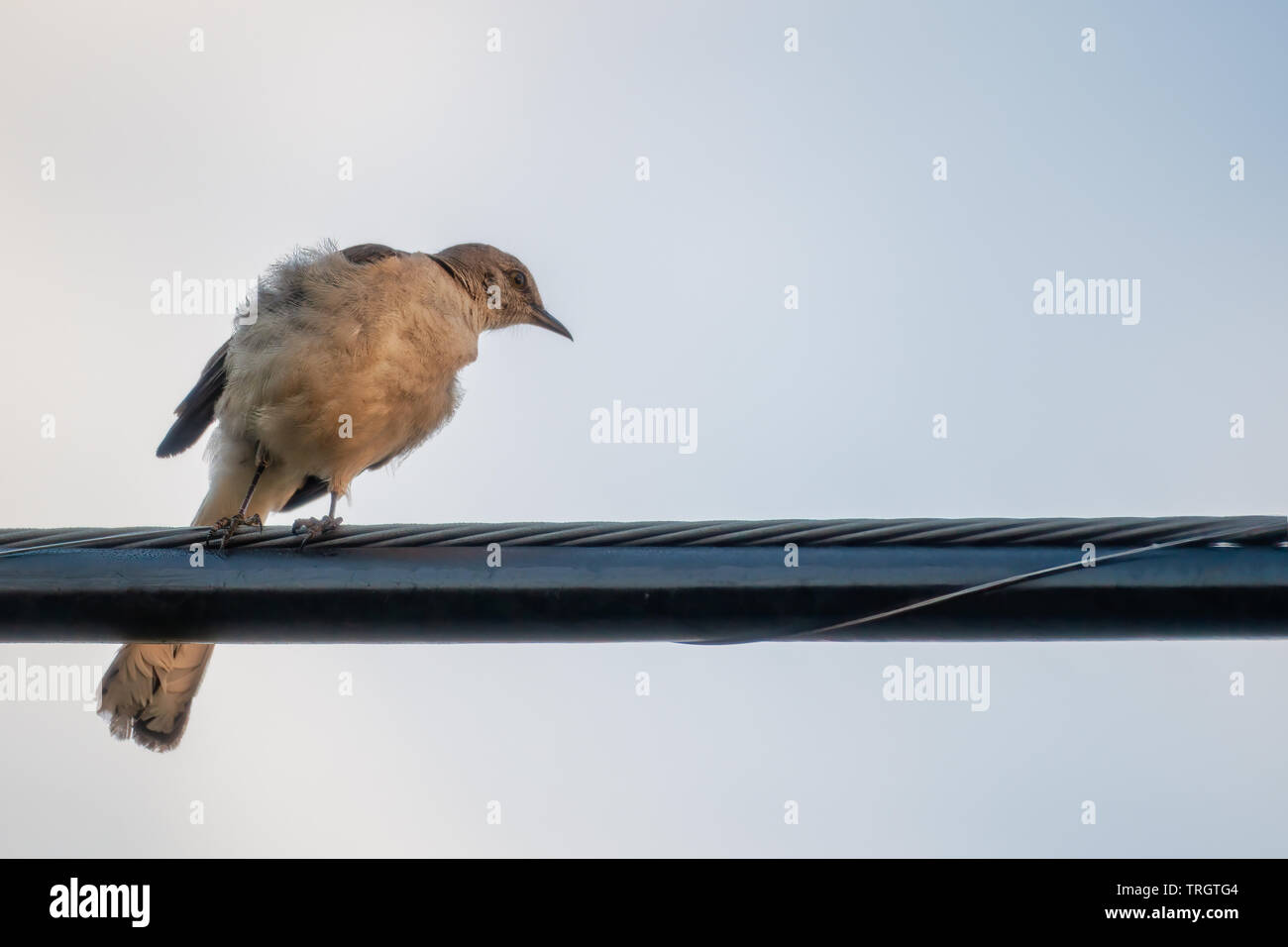 Florida state bird, the mocking bird. Pearched on cable wire. - Stock Image