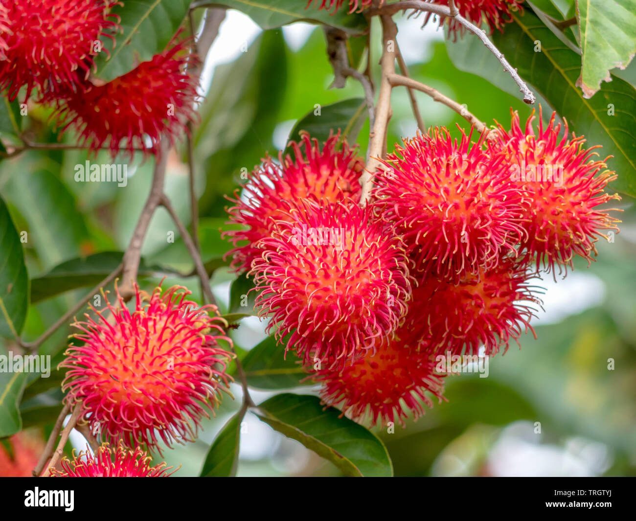 Rambutan ripe on the branches of rambutan trees Stock ...