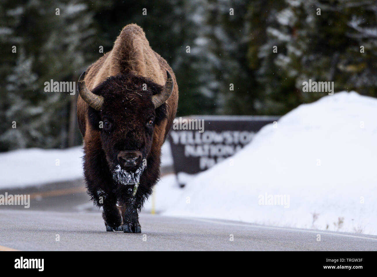 Buffalo own the streets in Yellowstone National Park, Wyoming, North America. - Stock Image