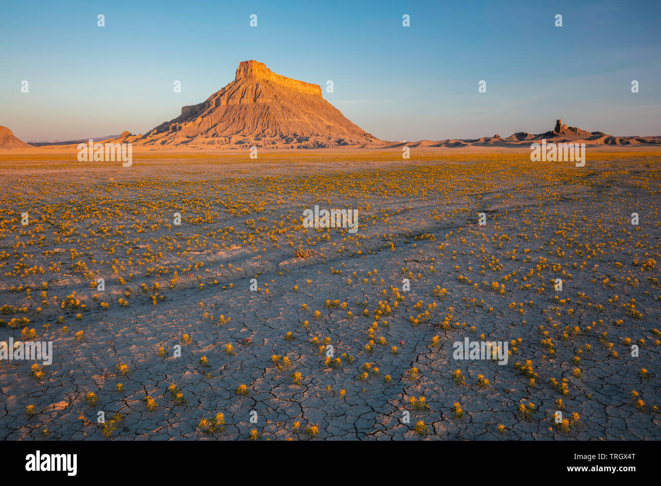 Yellow beeplant (cleome lutea hook.) during a wet spring at Factory Butte, Hanksville, Utah - Stock Image