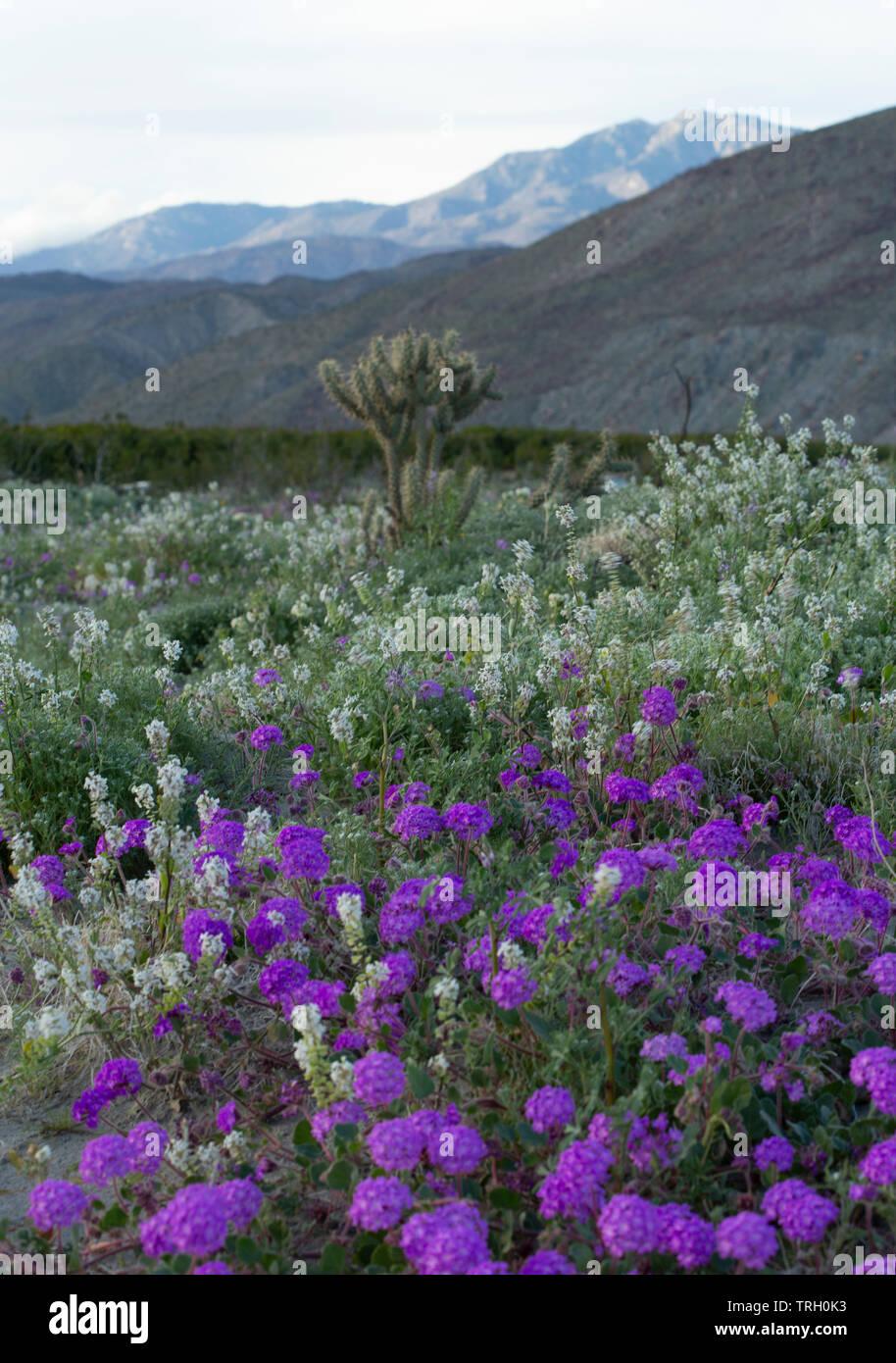 2019 Superbloom in the Anza Borrego Desert - Stock Image