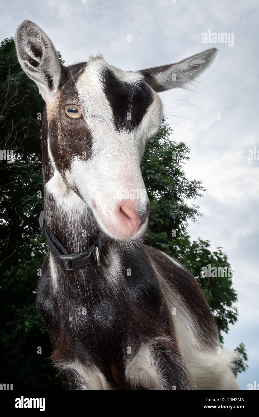 Funny black and white spotted goat with pink nose , and fur earrings , shot with wide-angle lens - Stock Image