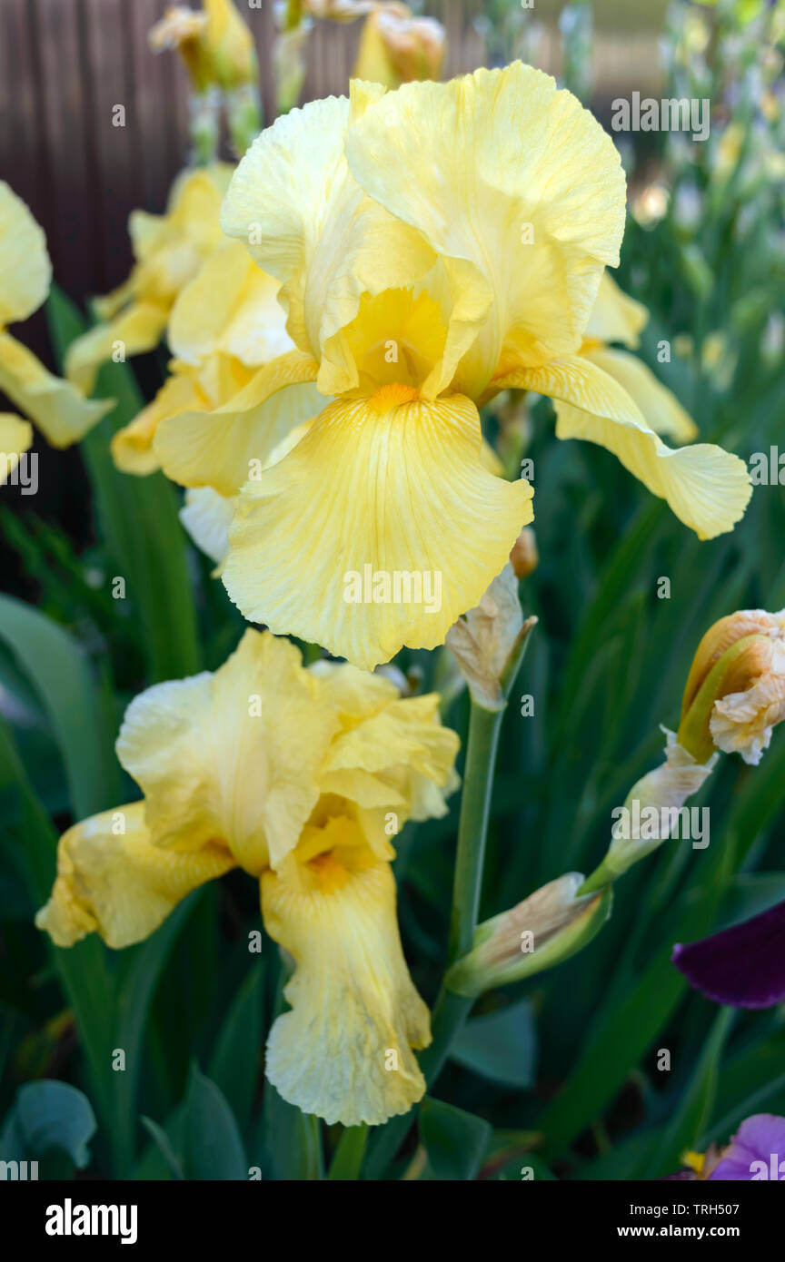 Beautiful Iris Bushes In The Garden Yellow Flowers Iris Spring