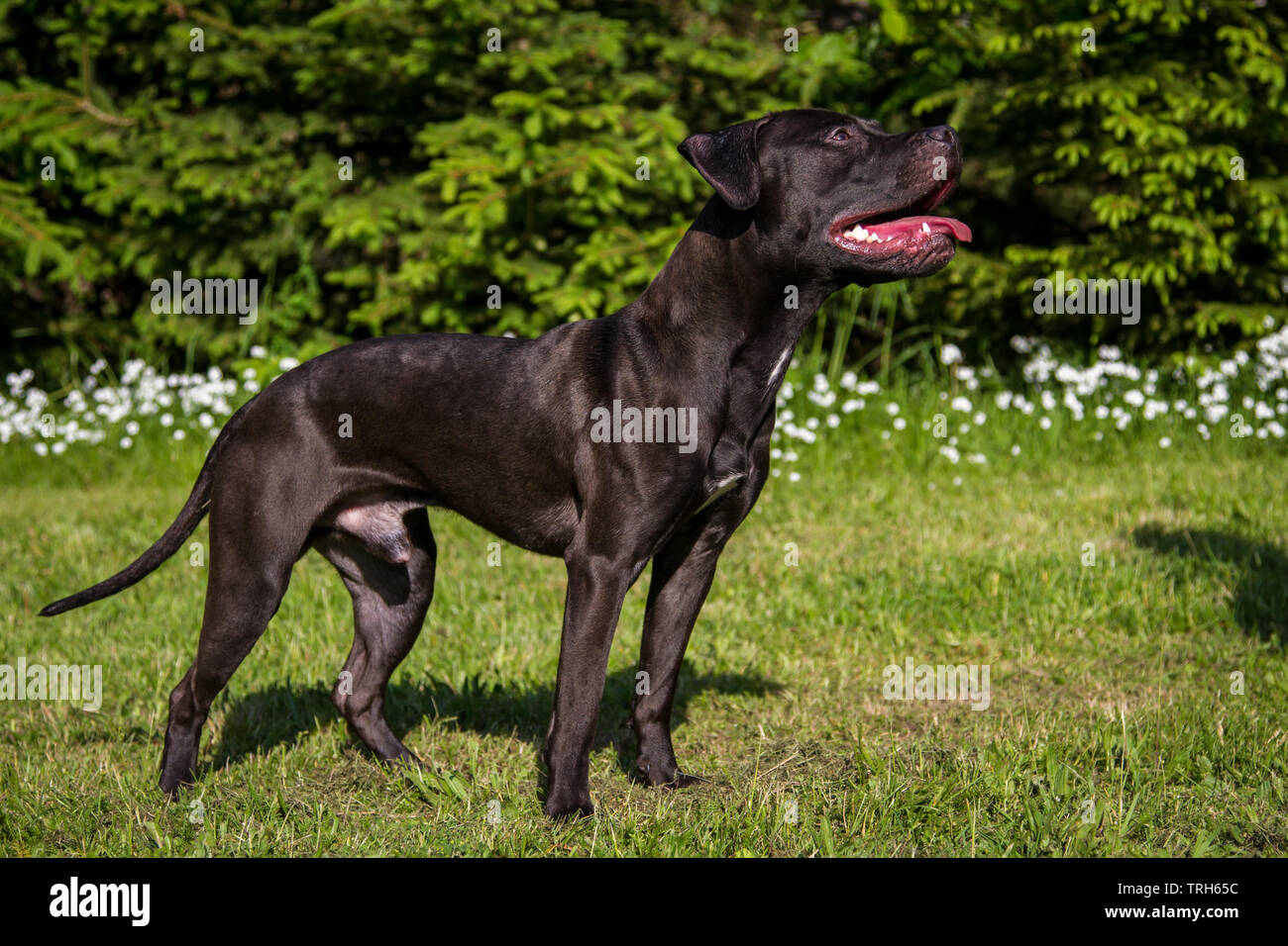 Black American Pit Bull Terrier male standing, from the side - Stock Image
