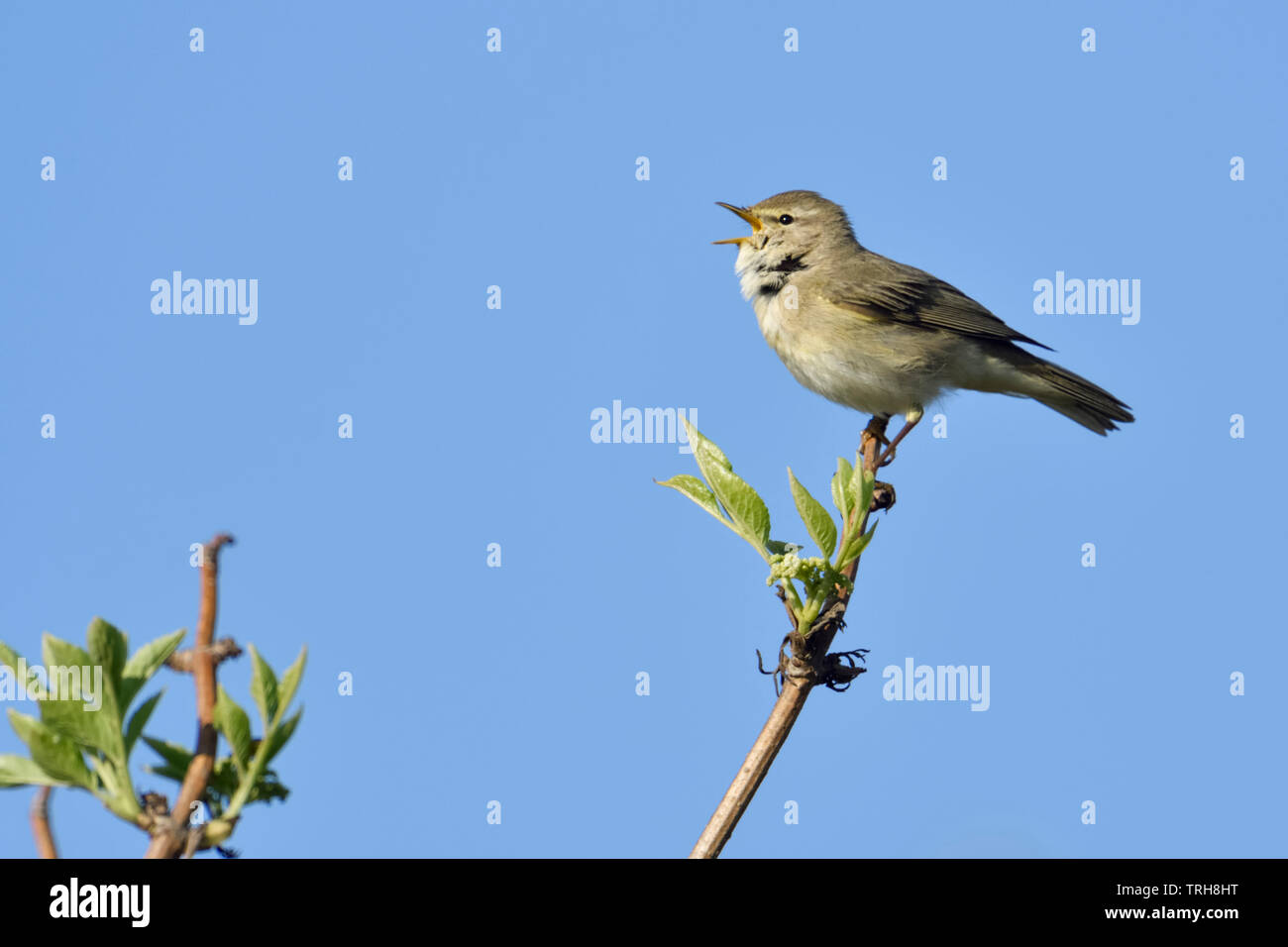 Willow Warbler / Fitis ( Phylloscopus trochilus ), adult male in spring, perched on top of an elder bush, singing, wildlife, Europe. Stock Photo