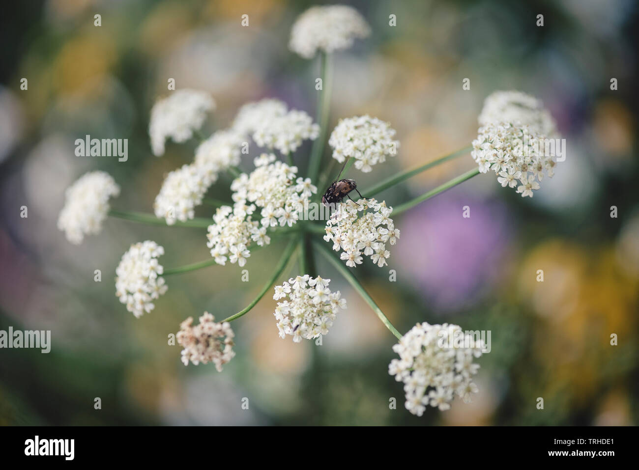 Lacy White Flower Heads Stock Photo