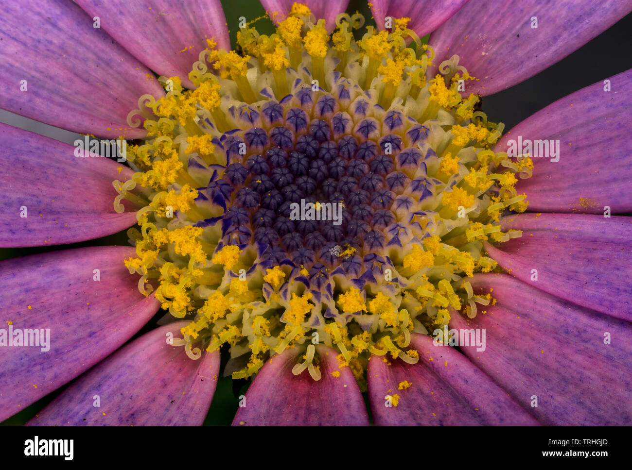 Pink Senetti flower in full bloom showing yellow pollinating buds. - Stock Image