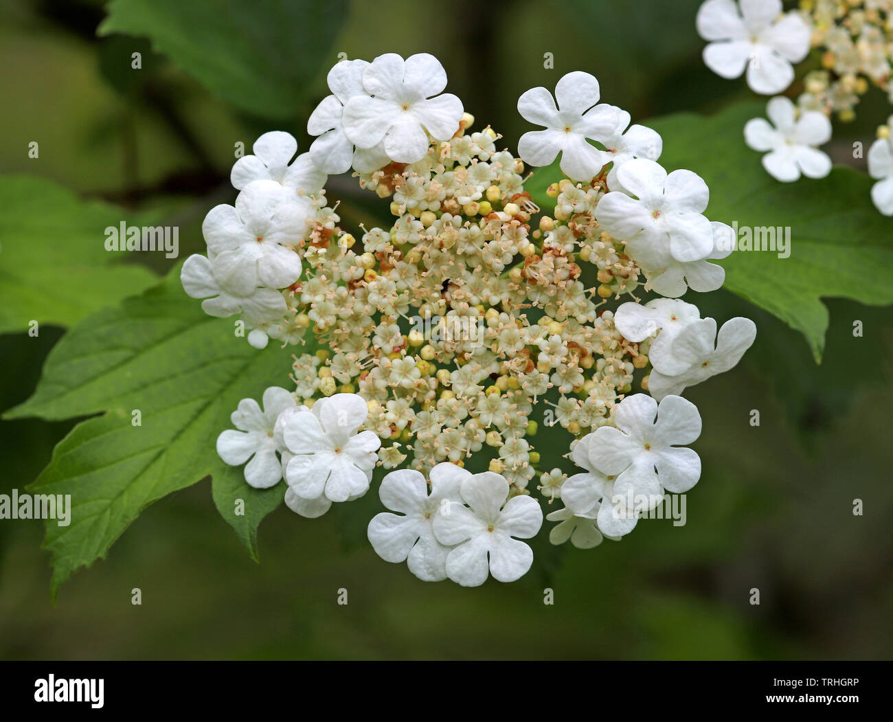 A view of the flower of a Guelder Rose, Viburnum opulus, in a nature reserve at Alderford Common, Alderford, Norfolk, England, United Kingdom, Europe. - Stock Image