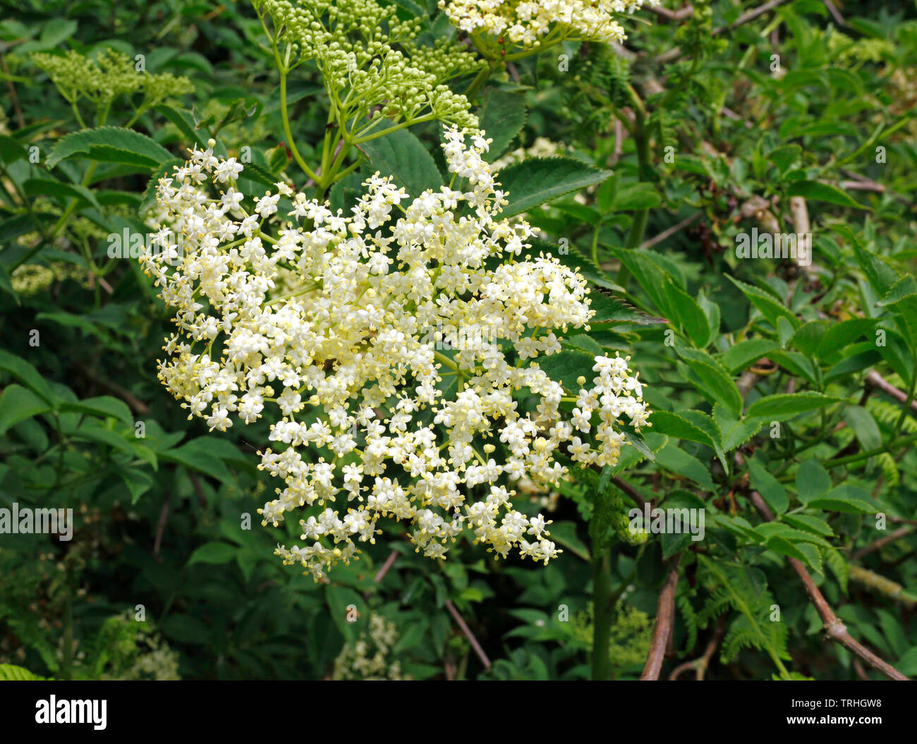 A view of the flower of Elder, Sambucus nigra, in a nature reserve at Alderford, Norfolk, England, United Kingdom, Europe. - Stock Image