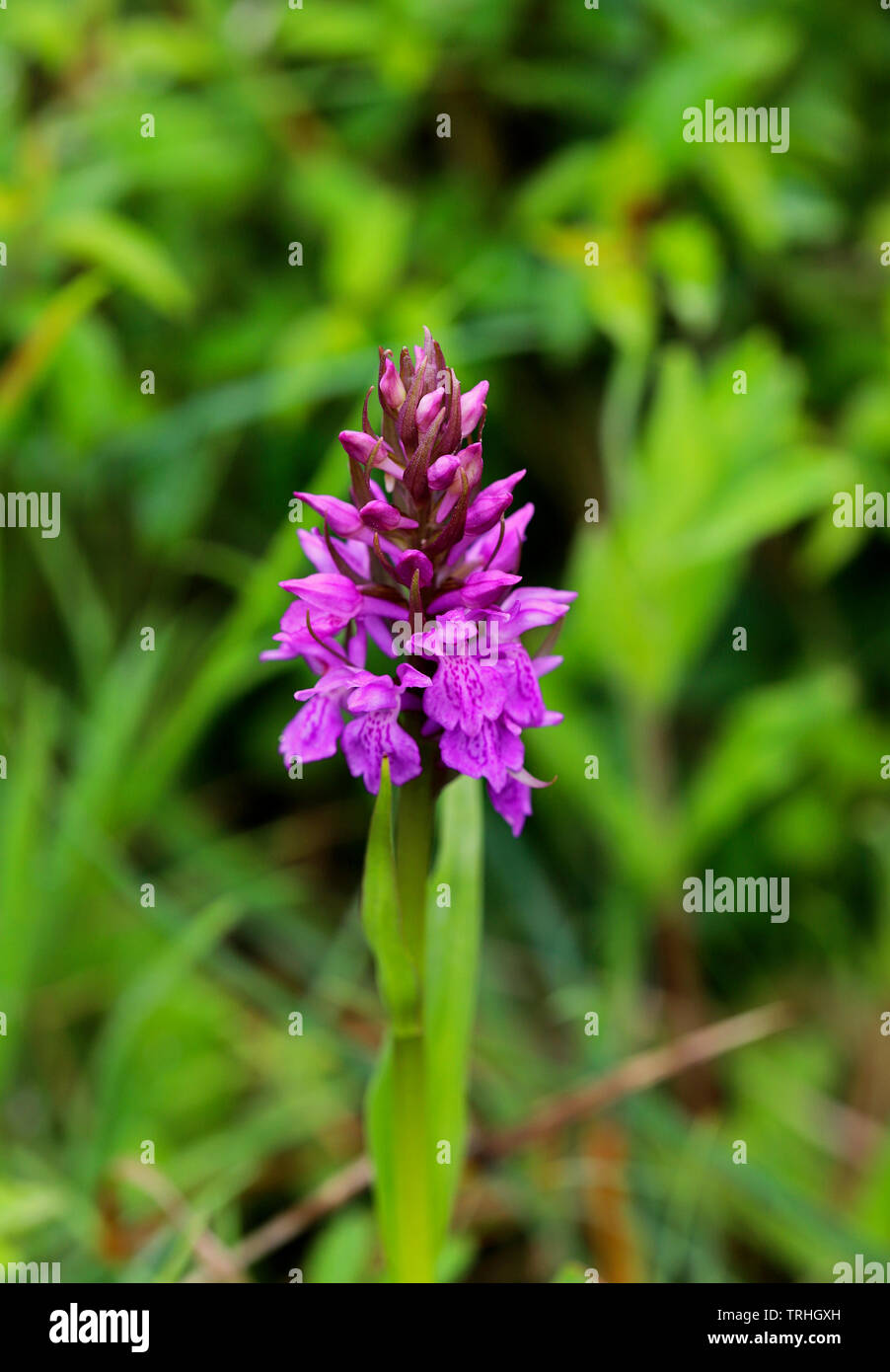The flower spike of a Southern Marsh Orchid, Dactylorhiza praetermissa, coming into bloom. - Stock Image