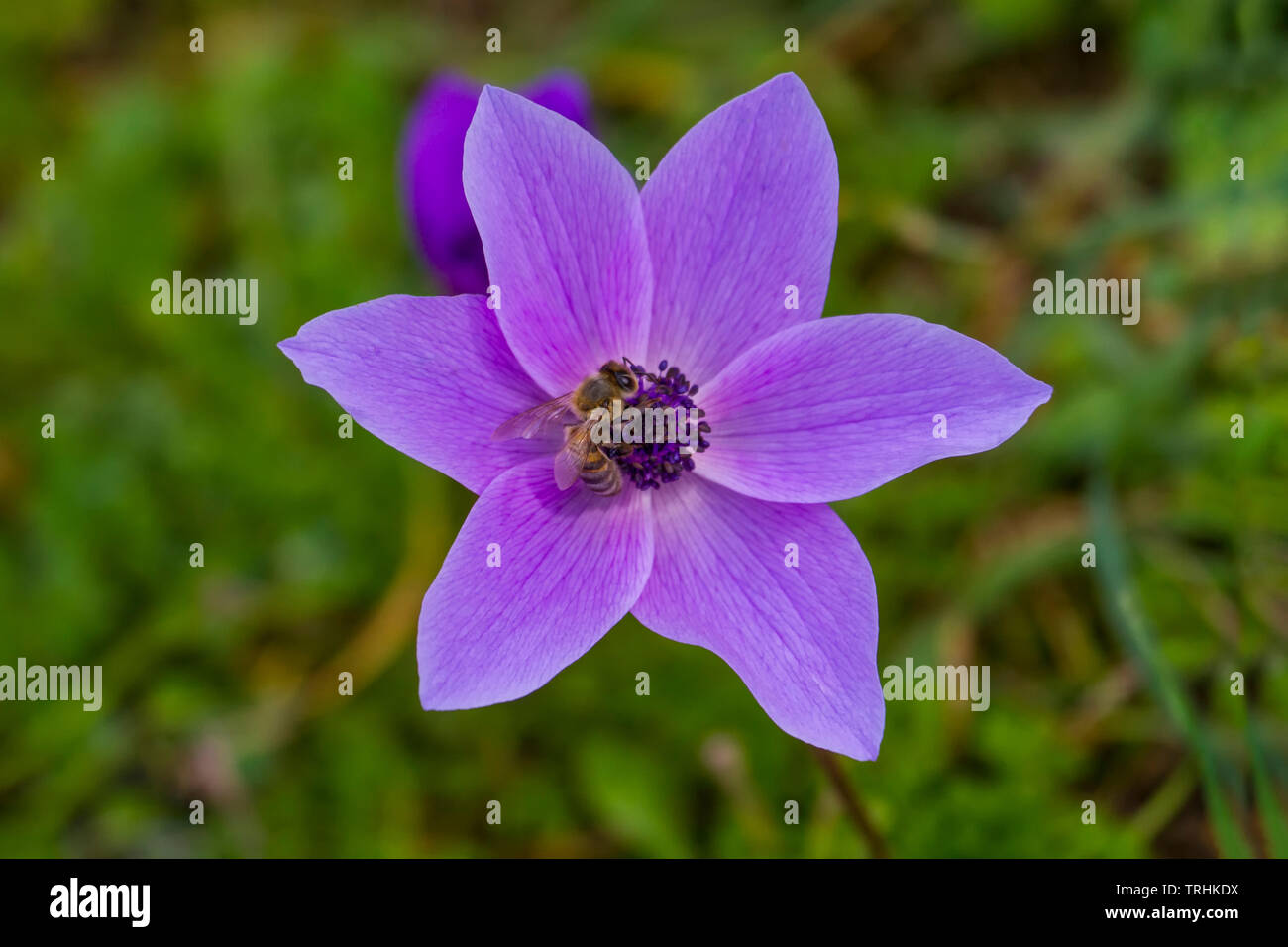The appearance of a Lila-colored anemone flower from above - Stock Image