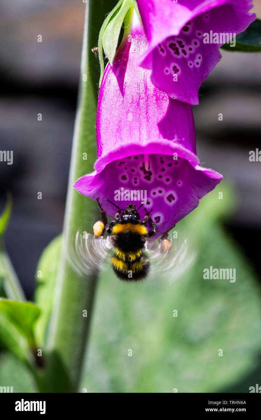 A Bumble bee with visible motion blur on the wings alighting on a common foxglove  Digitalis purpurea enabling pollination of plants - Stock Image