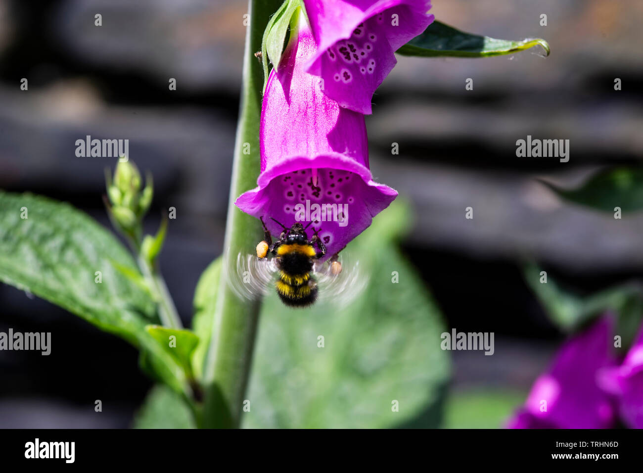 A Bumble bee with visible motion blur on the wings alighting on a common foxglove  Digitalis purpurea enabling pollination of plants Stock Photo
