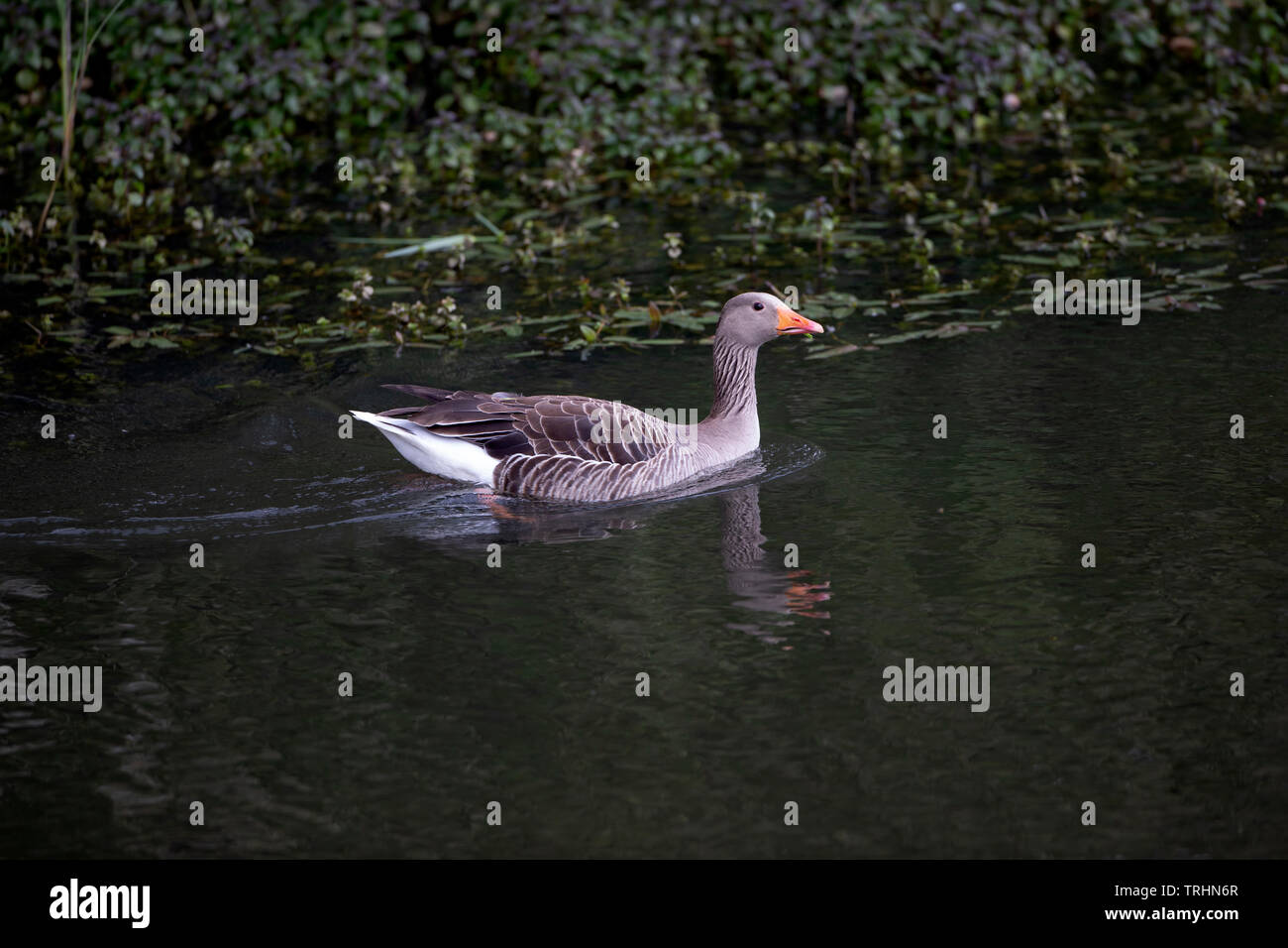 Grey Lag goose Anser anser in profile swimming on a secluded lake with partial reflection in the water and dark green foliage background Stock Photo