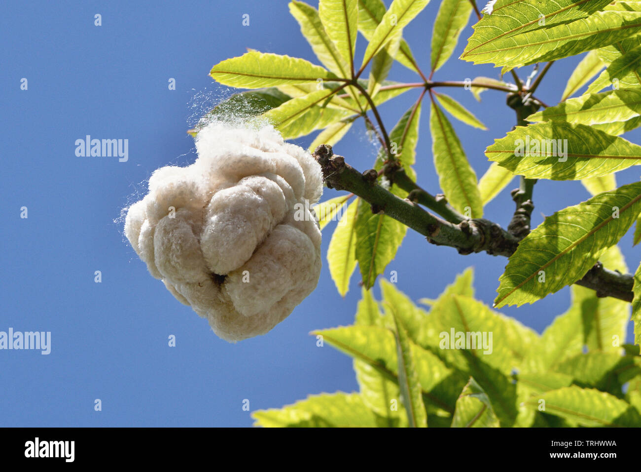 The burst seed pod of a kapok tree (Ceiba pendandra). He is the largest tree of the tropical rainforest. in thick balls the fiber, a synthetic cotton - Stock Image