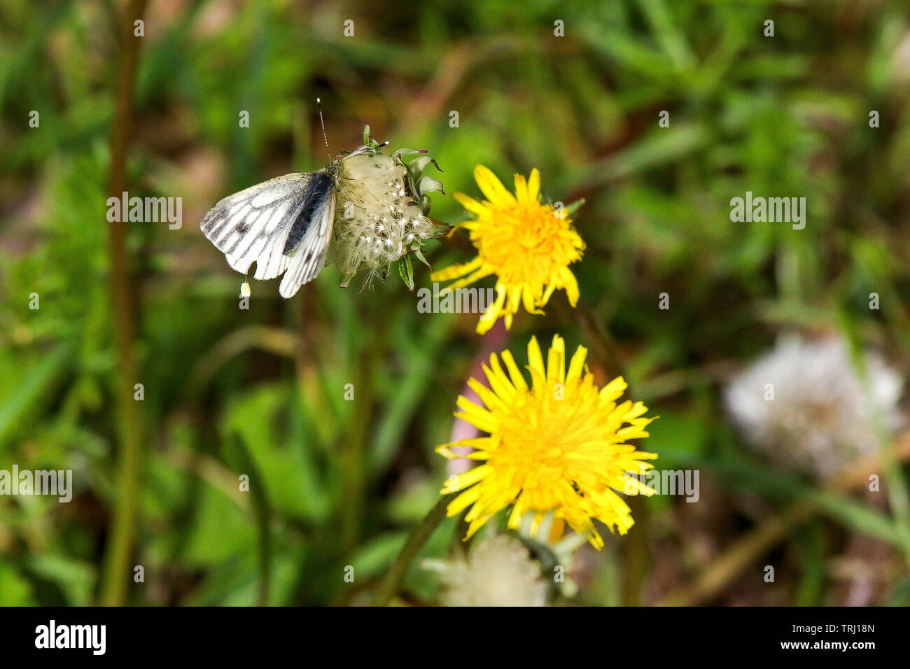 Pollination on woodland dandelions with a white butterfly on a dandelion seed head. Stock Photo