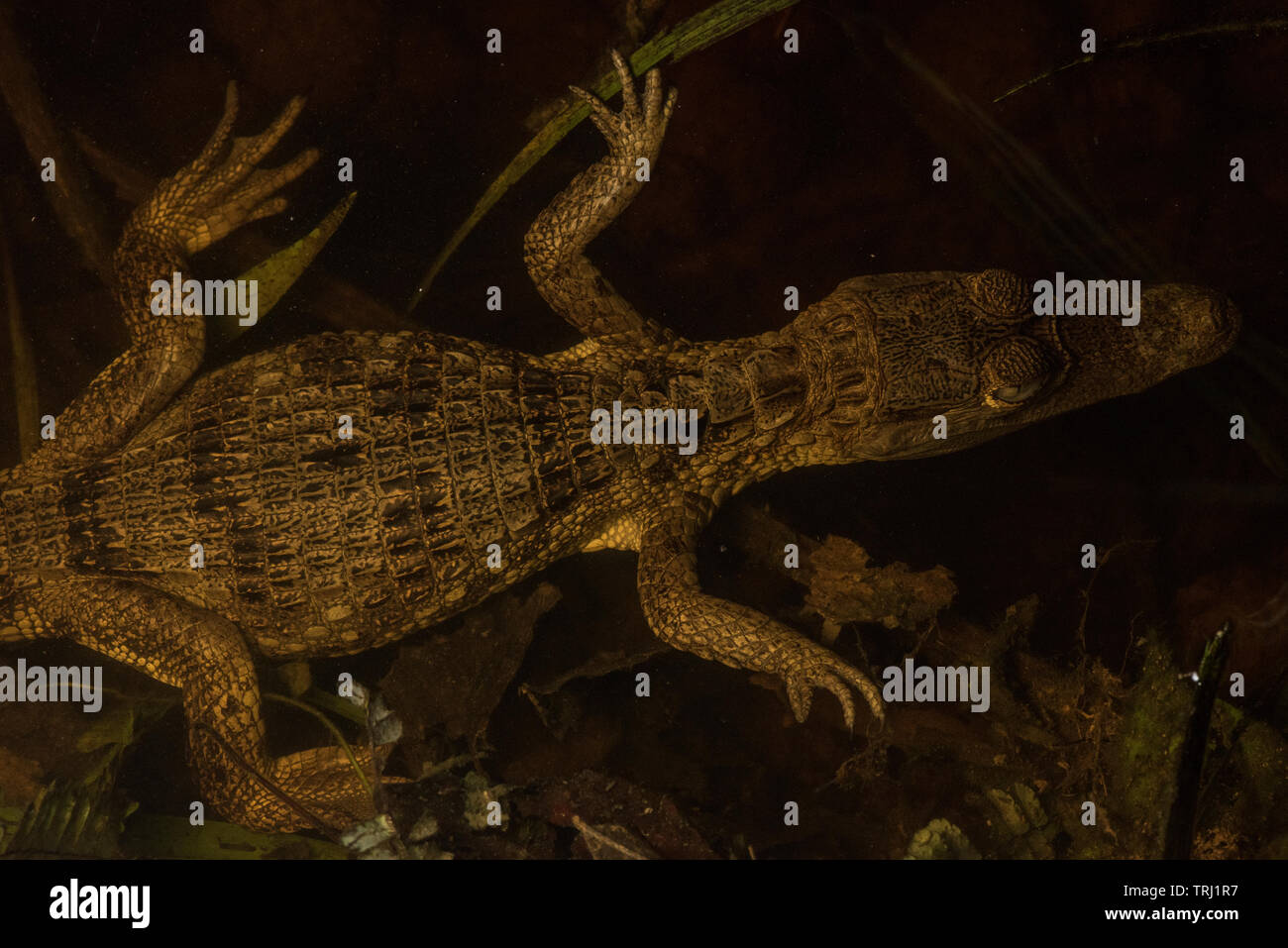 A young spectacled caiman (Caiman crocodilus) at the waters edge waiting for prey to venture close. From Yasuni national park, Ecuador. Stock Photo