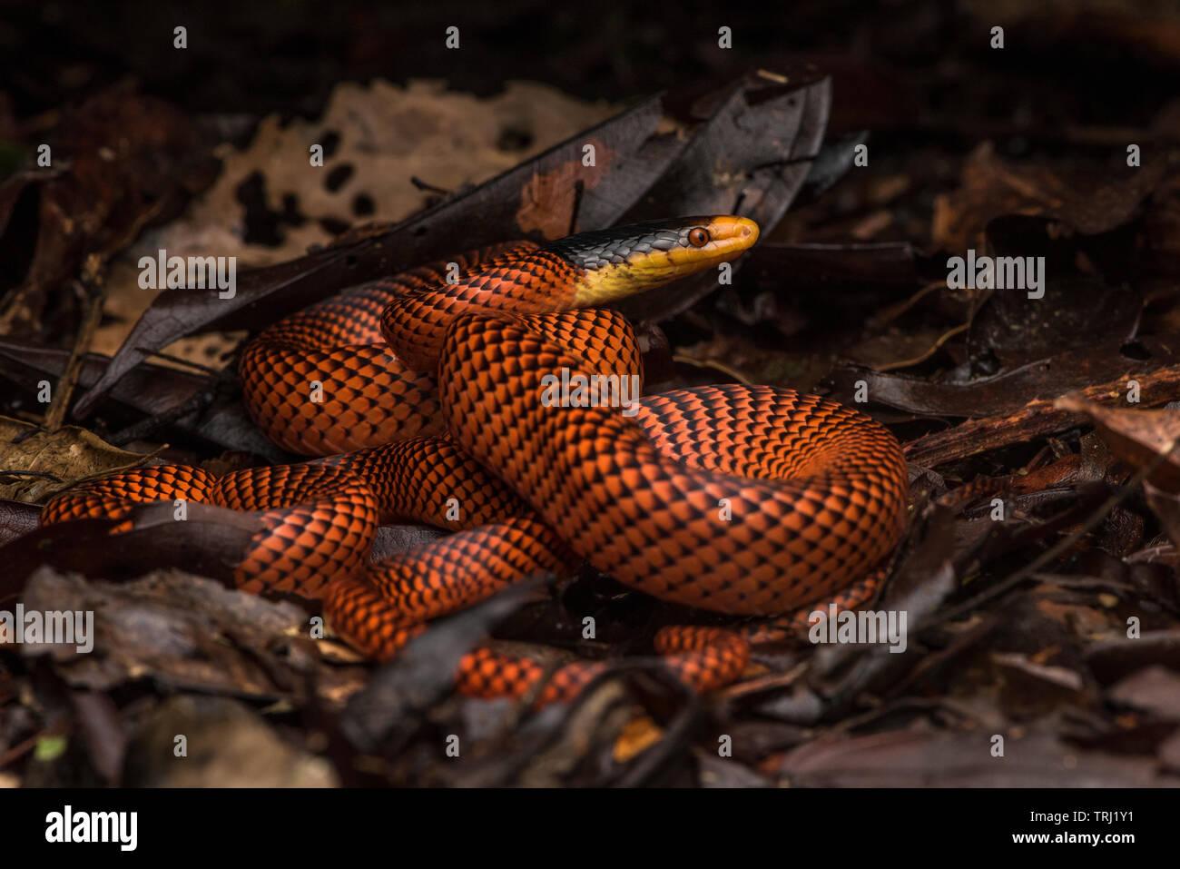 Yellow-headed Calico Snake (Oxyrhopus formosus) a beautiful snake from Ecuador's Yasuni national park in the Amazon jungle. Stock Photo