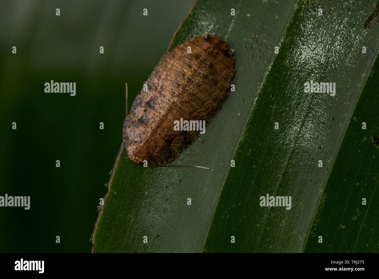 A cockroach in the Ecuadorian jungle in Orellana province. - Stock Image