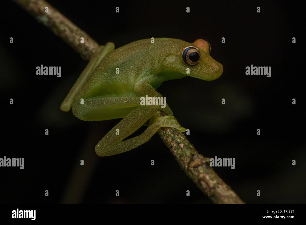 Demerara Falls tree frog (Hypsiboas cinerascens or Boana cinerascens, depending on how up to date your taxonomy is) from Yasuni national park, Ecuador. Stock Photo