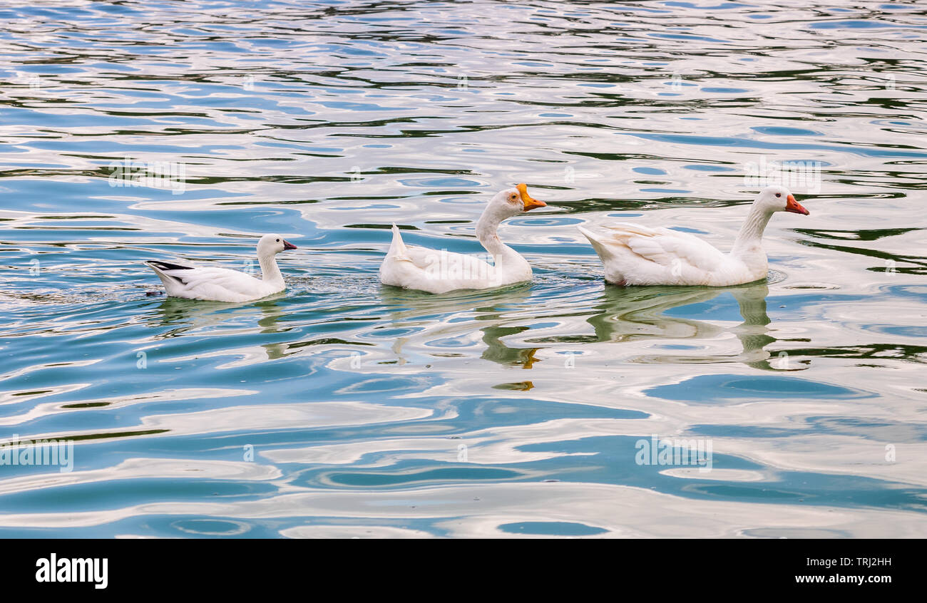 A plump of geese at MacArthur Park Lake in Los Angeles, California. - Stock Image