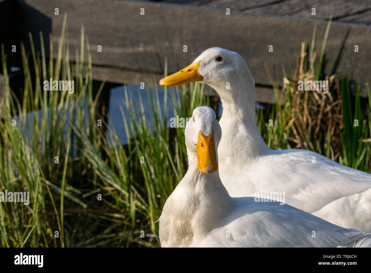 Two male pekin ducks (Anas platyrhynchos domesticus) by the lake at sunset - Stock Image